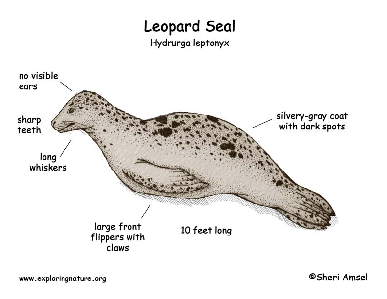 Aperance - Leopard Seal Facts
